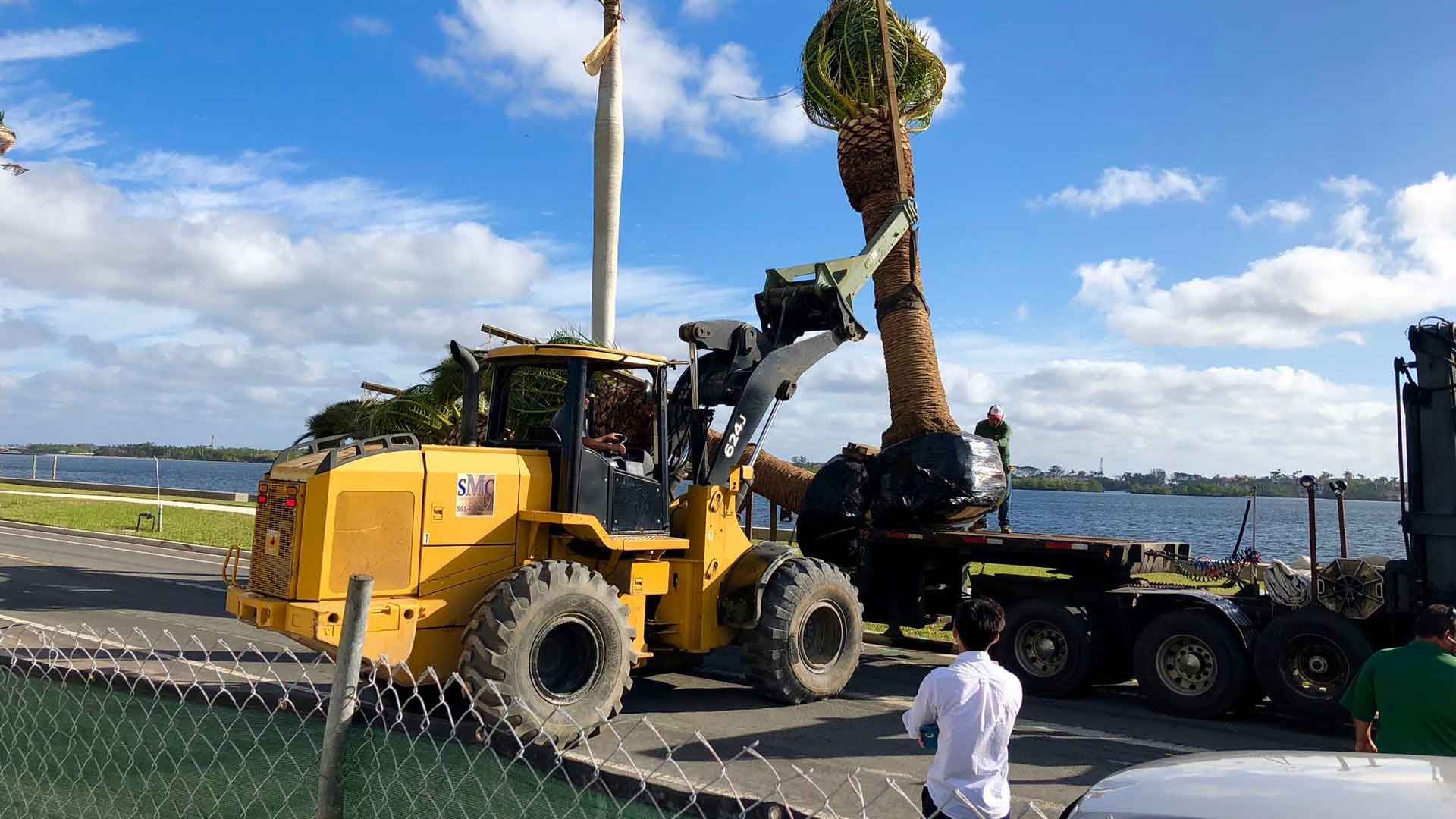 Very large palm tree being planted at a commercial property in Palm Beach, FL.