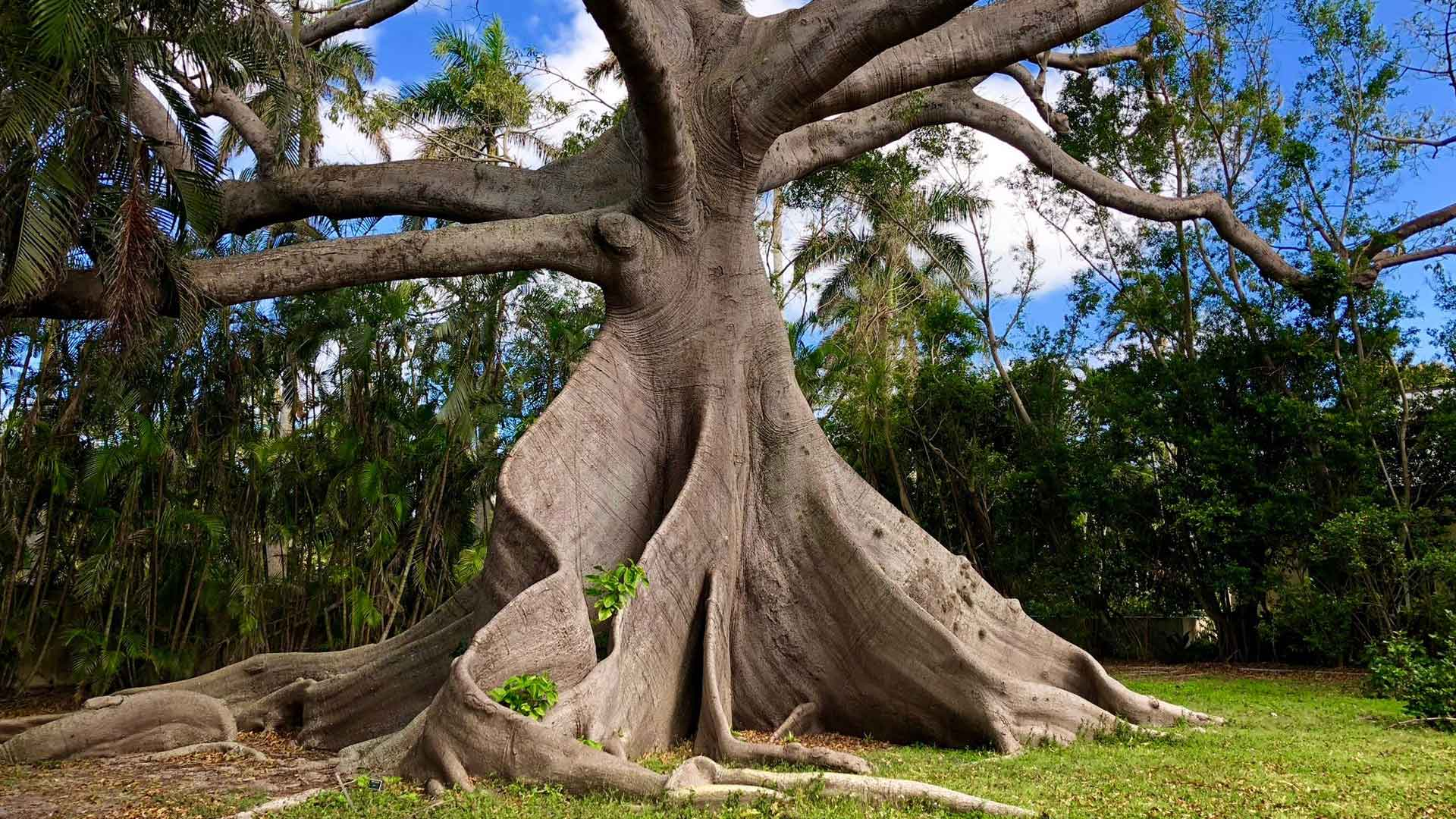 Large tree in the lawn of a residential property in Palm Beach, FL.