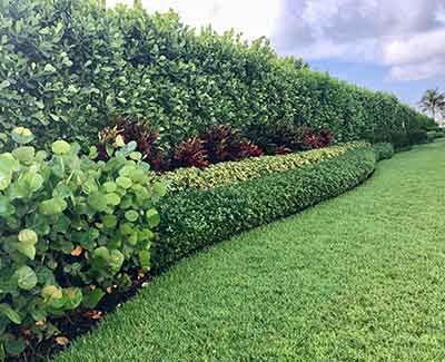 These landscape plants in Jupiter, FL benefit from regular trimming.